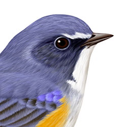 Red-flanked Bluetail Head