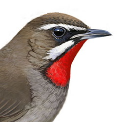 Siberian Rubythroat Head Illustration