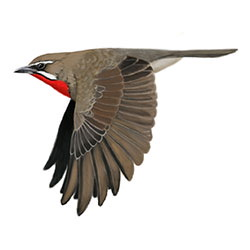 Siberian Rubythroat Flight Illustration