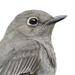 Townsend's Solitaire Head Illustration