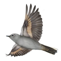 Townsend's Solitaire Flight Illustration