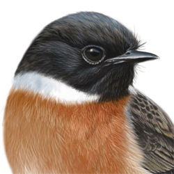 Stonechat Head Illustration