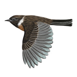 Stonechat Flight Illustration