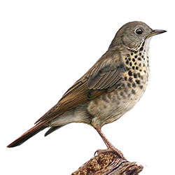 Bicknell's Thrush Body Illustration