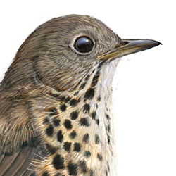 Bicknell's Thrush Head Illustration