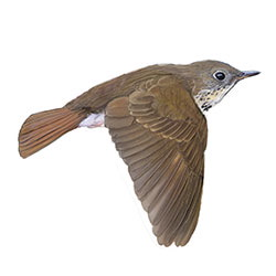Bicknell's Thrush Flight Illustration
