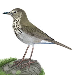 Swainson's Thrush Body Illustration