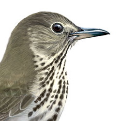 Swainson's Thrush Head Illustration