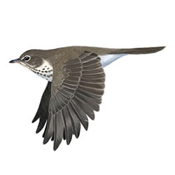 Swainson's Thrush Flight Illustration