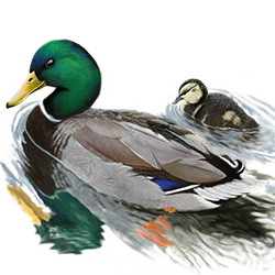 Mallard Body Illustration