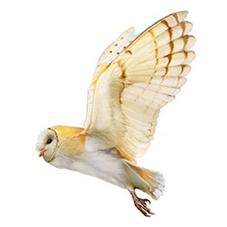 Barn Owl Flight Illustration.jpg
