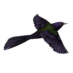 Common Grackle Flight Illustration