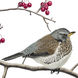 Fieldfare Body Illustration