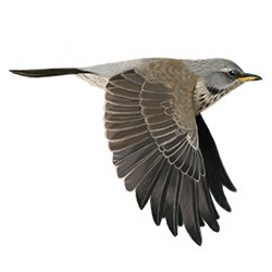 Fieldfare Breeding Male Flight Illustration