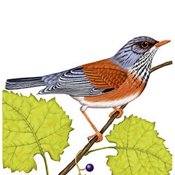Rufous-backed Robin Body Illustration