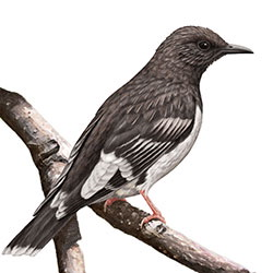 Aztec Thrush Body Illustration.jpg