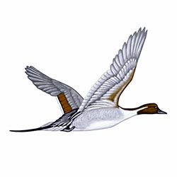 Northern Pintail Flight Illustration