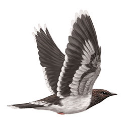 Aztec Thrush Flight Illustration.jpg