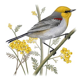 Verdin Breeding Male Body Illustration
