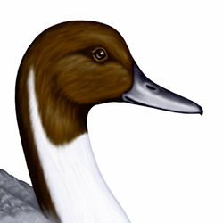 Northern Pintail Head Illustration