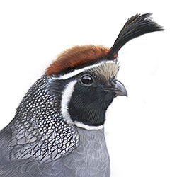 California Quail Head Illustration