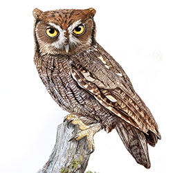 Eastern Screech-Owl Gray Morph Body Illustration