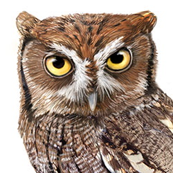 Eastern Screech-Owl Head Illustration