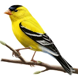 american goldfinch identify whatbird com
