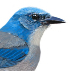 Mexican Jay Head Illustration