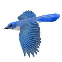 Mexican Jay Flight Illustration