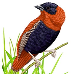 Northern Red Bishop Body Illustration