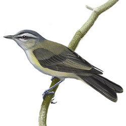 Yellow-green Vireo Body Illustration