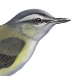 Yellow-green Vireo Head Illustration
