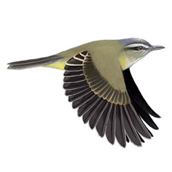 Yellow-green Vireo Flight Illustration