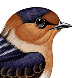 Cave Swallow Head Illustration
