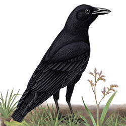 Fish Crow Body Illustration