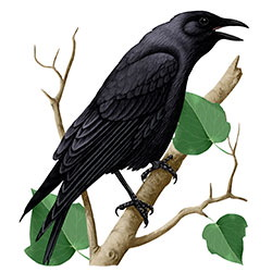 Tamaulipas Crow Body Illustration