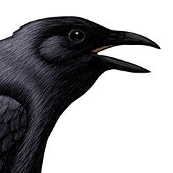 Tamaulipas Crow Head Illustration