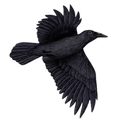 Tamaulipas Crow Flight Illustration