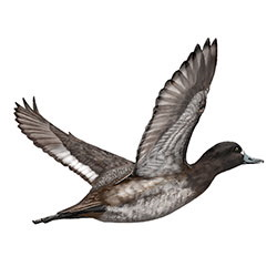 Lesser Scaup Flight Illustration.jpg