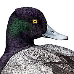 Lesser Scaup Head Illustration.jpg