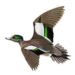 American Wigeon Flight Illustration
