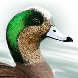 American Wigeon Head Illustration