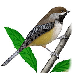 Boreal Chickadee Body Illustration