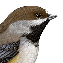 Boreal Chickadee Head Illustration