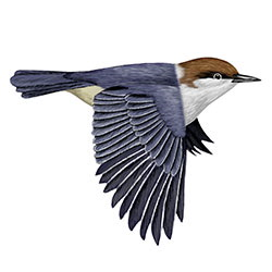 Brown-headed Nuthatch Flight Illustration