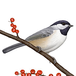 Carolina Chickadee Body Illustration