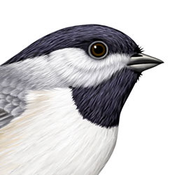 Carolina Chickadee Head Illustration