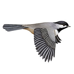Carolina Chickadee Flight Illustration
