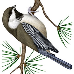 Gray-headed Chickadee Body Illustration